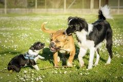 Drie honden, een mengelingsras ??n, een Bokser en Border collie, die in een weide spelen royalty-vrije stock foto