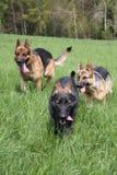 Drie honden het lopen Stock Afbeelding