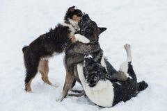 Drie honden het spelen Stock Foto