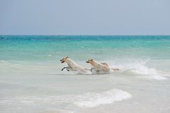 Drie honden het spelen Royalty-vrije Stock Foto