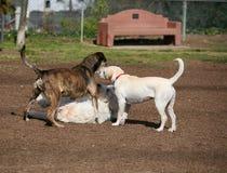 Drie honden het spelen Royalty-vrije Stock Afbeelding