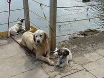 Drie honden op de zeedijk stock fotografie