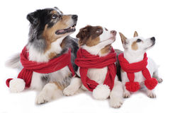 Drie honden op Kerstmis Stock Foto's