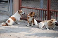 Drie honden in tuin Royalty-vrije Stock Foto