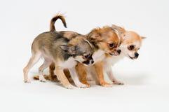 Drie honden van rassenchihuahua stock afbeeldingen