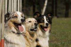 Drie hondenportret Royalty-vrije Stock Fotografie