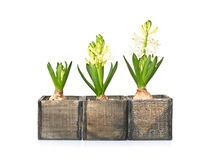 Drie hyacinten in verschillende stadia van de groei Stock Afbeeldingen