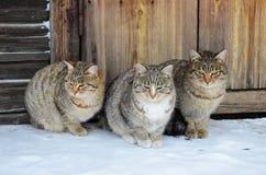 Drie identieke katten zitten op een houten portiek Royalty-vrije Stock Fotografie