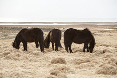 Drie Ijslandse paarden op een weide Stock Afbeeldingen
