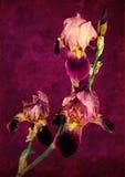 Drie irissen op een violette achtergrond Stock Fotografie