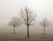 Drie jonge bomen in de mist stock foto's