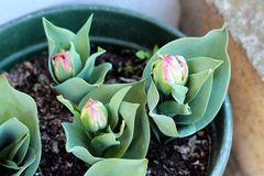 Drie jonge gedeeltelijk open installaties van de Roomijstulp met pointy donkergroene die bladeren en het te voorschijn komen bloe royalty-vrije stock foto's