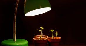 Drie Jonge Spruiten met kweken Lamp stock fotografie