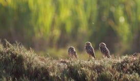 Drie Jonge uilen Royalty-vrije Stock Foto's