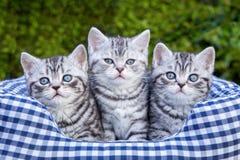 Drie jonge zilveren gestreepte katkatten in geruite mand Stock Afbeeldingen