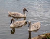 Drie jonge jonge zwanen Stock Foto's