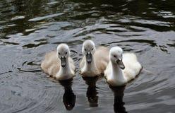 Drie Jonge zwanen Royalty-vrije Stock Foto's