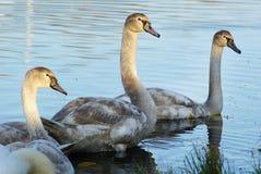 Drie jonge zwanen Royalty-vrije Stock Afbeeldingen