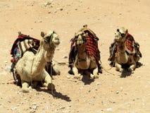 Drie kamelen Royalty-vrije Stock Afbeeldingen