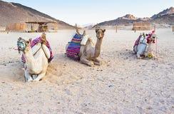 Drie kamelen Stock Foto's