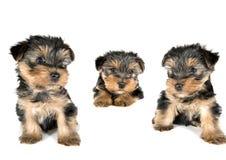 Drie kanten aan een Puppy van Yorkshire Terrier Stock Fotografie