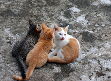 Drie katjes Stock Afbeelding