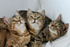Drie katjes Stock Foto