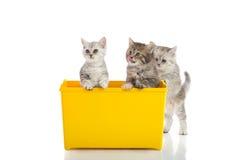 Drie katjes die in gele doos spelen Stock Foto's