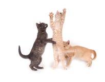 Drie katjes die op een witte achtergrond spelen Stock Afbeeldingen