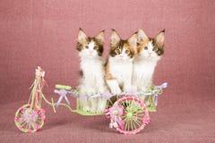 Drie katjes die van Calicomaine coon binnen verfraaide die witmetaalwagen zitten met linten en bogen wordt verfraaid Stock Fotografie