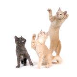 Drie katjes het spelen Royalty-vrije Stock Fotografie