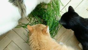 Drie katten eten vers groen gras stock videobeelden
