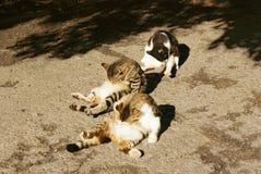 Drie katten likken gelijktijdig buik royalty-vrije stock foto