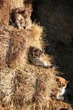Drie katten op stro Stock Foto's