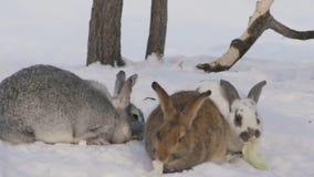 Drie kauwt de leuke ruwharige konijnen verschillende kleur koolbladeren op sneeuw stock videobeelden