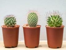 Drie kleine cactusinstallatie Stock Foto