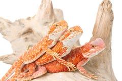 Drie kleine gebaarde draken royalty-vrije stock afbeelding