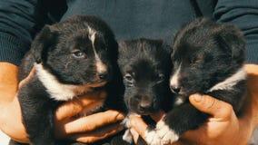 Drie kleine grappige puppy bij de mens in zijn wapens Zwarte speelse puppy met een interessante witte kleuring stock video