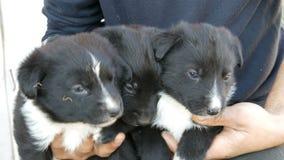 Drie kleine grappige puppy bij de mens in zijn wapens Zwarte speelse puppy met een interessante witte kleuring stock footage