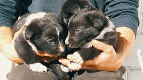 Drie kleine grappige puppy bij de mens in zijn wapens Zwarte speelse puppy met een interessante witte kleuring stock videobeelden