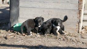 Drie kleine grappige zwarte speelse puppy met interesserende witte kleuring zitten in de yard stock video