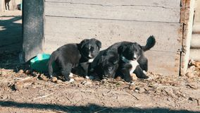 Drie kleine grappige zwarte speelse puppy met interesserende witte kleuring zitten in de yard stock footage