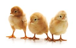 Drie kleine kippen stock afbeelding