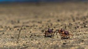Drie kleine krabbengang bij strandzand stock afbeeldingen