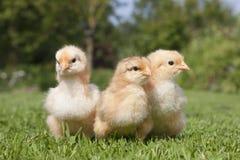 Drie kleine kuikens in het gras Stock Foto's