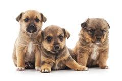 Drie kleine puppy Royalty-vrije Stock Afbeelding