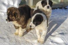 Drie kleine puppy van de Centrale Aziatische Herdershond royalty-vrije stock fotografie