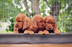 Drie kleine puppyzetter Royalty-vrije Stock Afbeeldingen