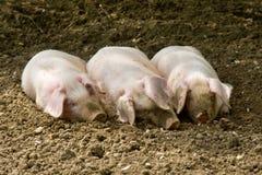 Drie kleine varkens Royalty-vrije Stock Foto