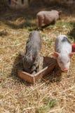 Drie kleine varkens dichtbij de voeders Stock Fotografie